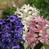 Hyacinths are a sure sign of spring