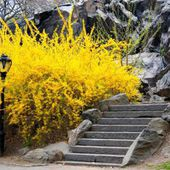 Golden Forsythia