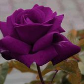 Plum Colored Rose