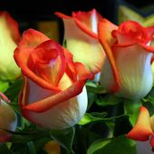 Beautiful two colored roses