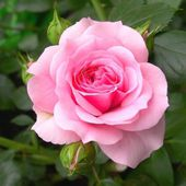 Very tender pink rose