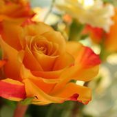 Pretty orange rose