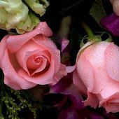 Two wet pink roses