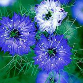 Nigella Love in a Mist 'Miss Jekyll Blue' flower