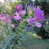 Cleome, Queen Mixed Colors