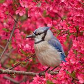 A Blue Jay in Pink Crab Apple