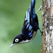 Blue Nuthatch