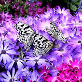 Paradise of Butterfly