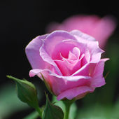 Single pink rose with buds