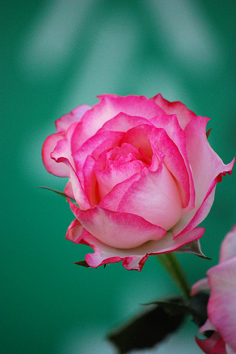 Awesome fresh pink rose