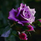 Purple rose with three buds
