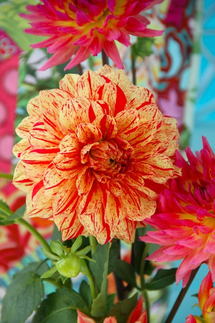 Awesome striped Dahlia