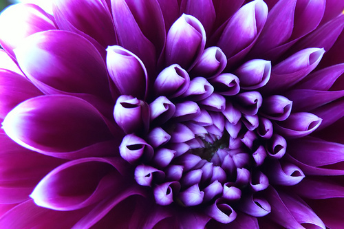 Awesome purple Dahlia
