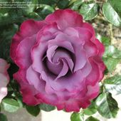 'Angel Face' Rose