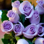 Bunch of lavender roses