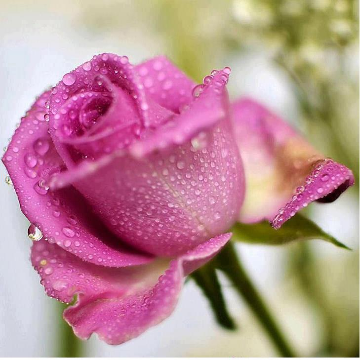 Single Wet Rose