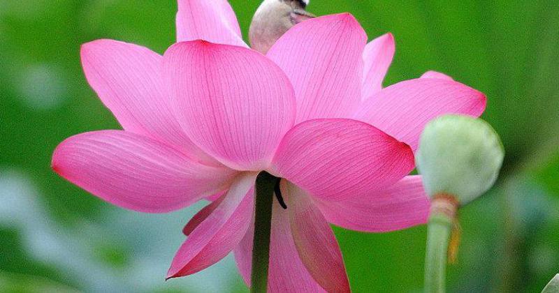 Sacred Lotus Alta Vista Botanical Gardens