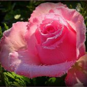 What a beautiful pink rose!