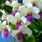 Two Colored Orchids