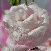 White rose with droplets
