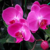 Gorgeous pink orchids