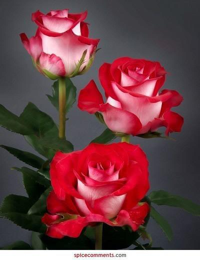 Three amazing roses