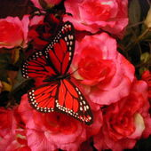 Red Butterfly on Red Flowers