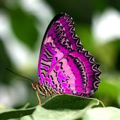 Gorgeous pink and purple butterfly