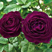 'Twilight Zone' Rose