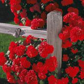 Red roses on a fence