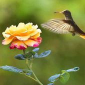 Sweet Hummingbird on a Rose