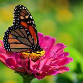 A Monarch butterfly on Zinnia flower