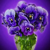 Purple pansy flowers in a vase
