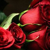 Awesome red roses