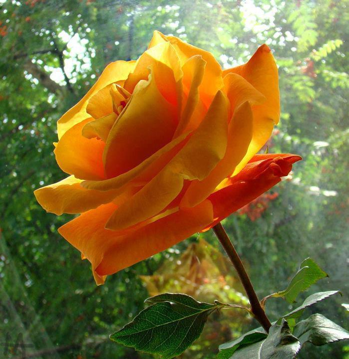 Single yellow rose - Plus belle fleur du monde ...