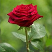 Single velvet red rose