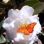 Orange butterfly on a white flower