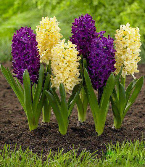 'City of Haarlem' Hyacinth