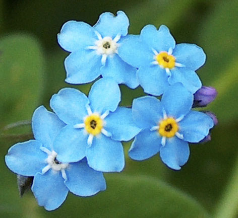Forget-me-not flowers