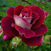 Awesome two colored rose
