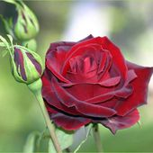 Velvet red rose with buds