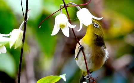 Japanese White-eye and Clematis
