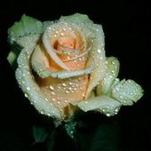 Single Tea Rose with Raindrops