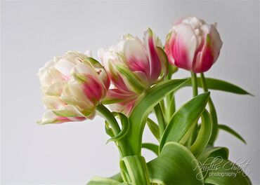 Awesome tulips
