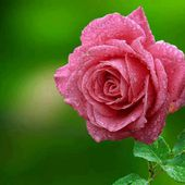 Single Wet Pink Rose