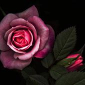 Colorful rose with buds in the dark