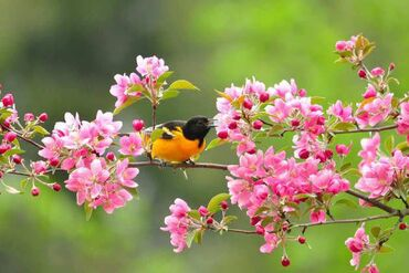 Baltimore Oriole in crabapple tree