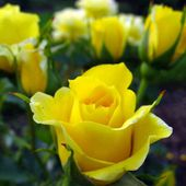 Vibrant and pretty yellow roses