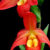 Slipper Orchids