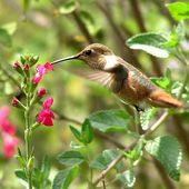 Habitat gardening for hummingbirds